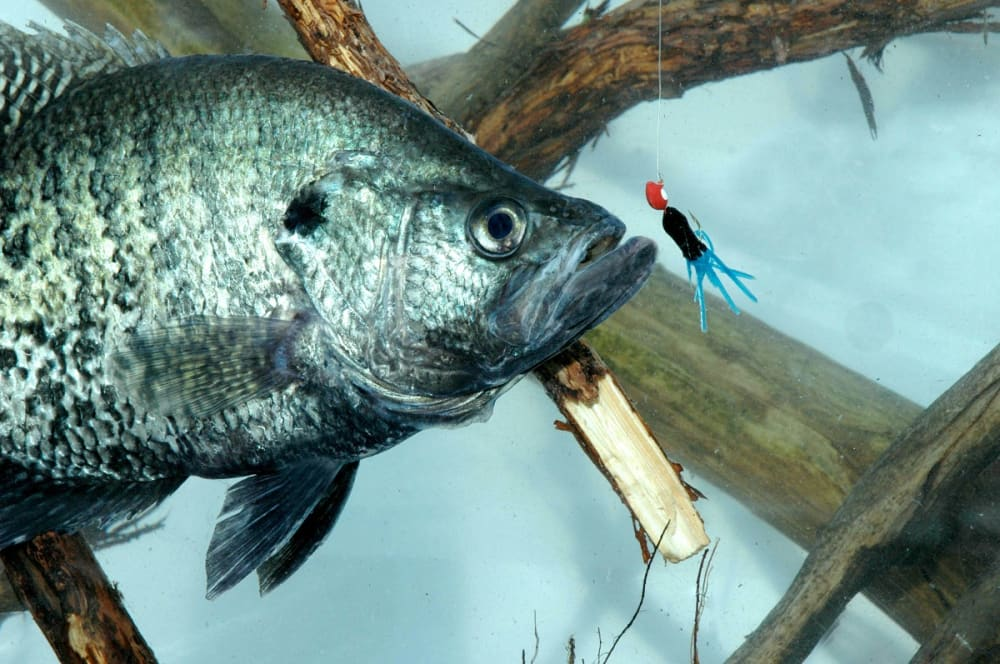 how to catch crappie fish