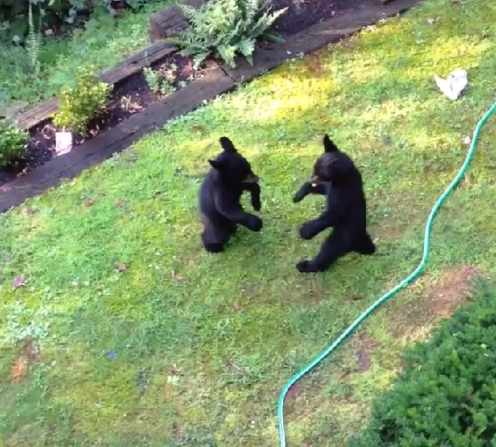 video two bear cubs start boxing in backyard outdoorhub