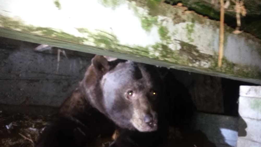Video homeowner encounters massive bear under porch outdoorhub video homeowner encounters massive bear under porch sciox Image collections