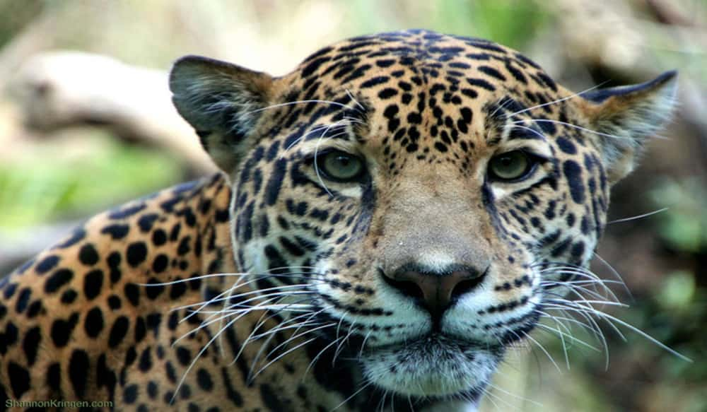 Game and fish confirms report of jaguar in southern for Az game and fish fishing report