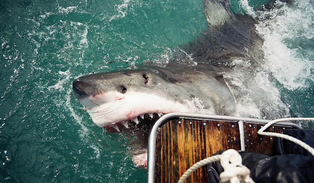 shark cull sac english year 12 Girl killed by shark it is the third fatal shark attack in western australia within 12 in 2014 western australia trialled a shark cull on.