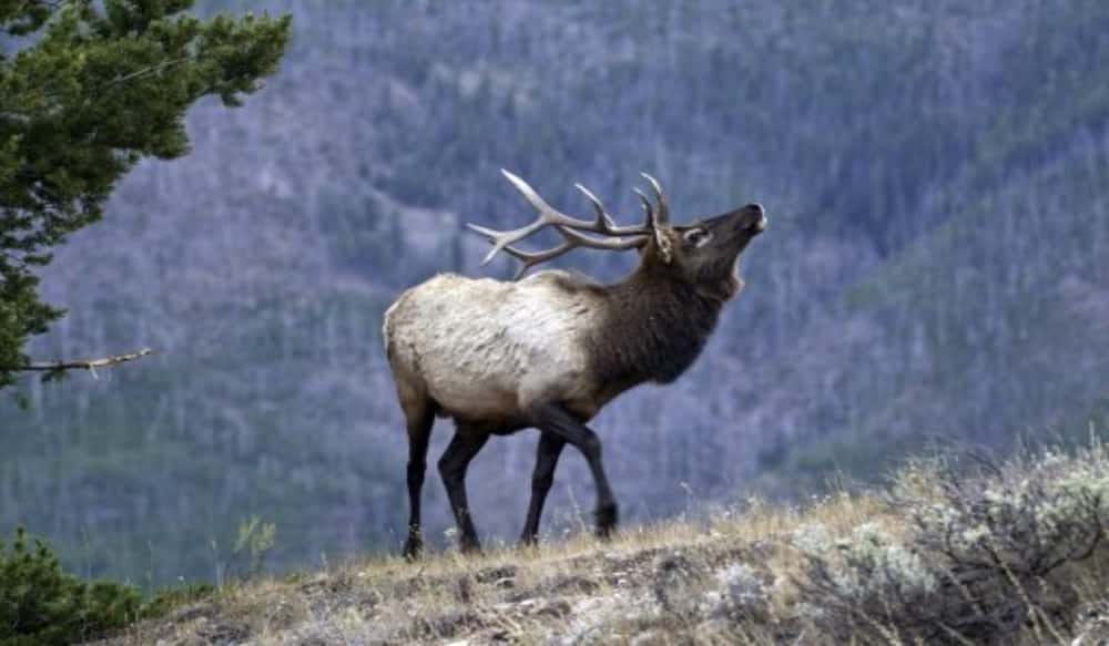 Image result for utah elk