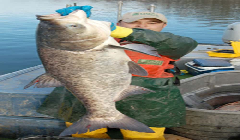 Kentucky Calls for Aid: Commercial Fishing Tournament Nets 40 Tons of Asian  Carp