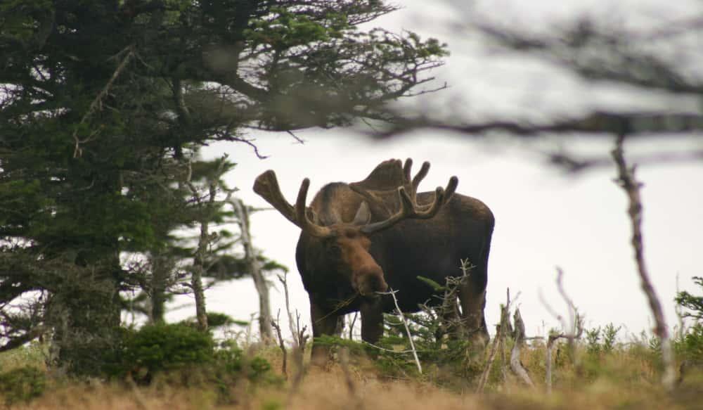Future Of Moose In New Hampshire Uncertain Outdoorhub