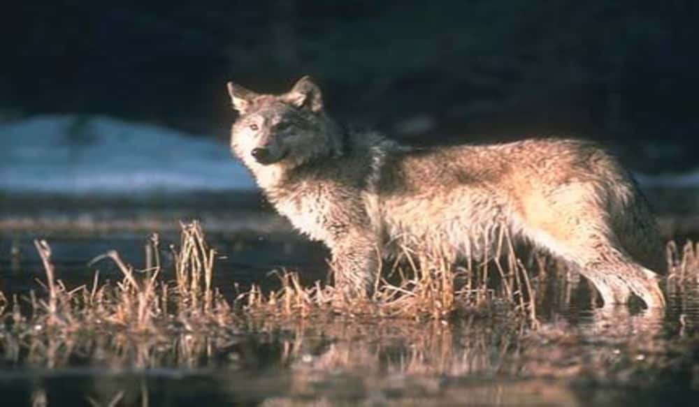 Michigan wolf hunt licenses sell at blazing pace outdoorhub for Michigan one day fishing license