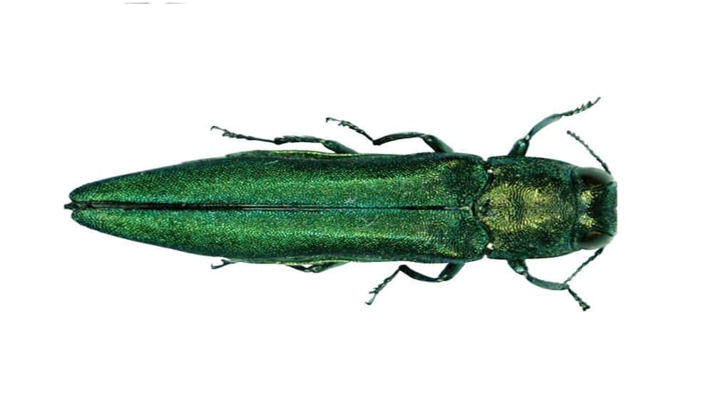 how to draw the emerald ash borer