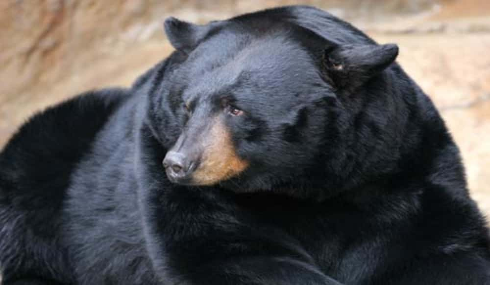 a management plan for the black bear A comprehensive black bear conservation and management plan for east texas is essential to prepare state and federal agencies as well as landowners and the public for that possibility it is unlikely.