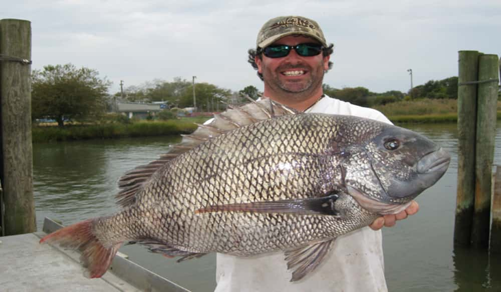Delaware angler catches delicious record sheepshead for Sheepshead fish recipe