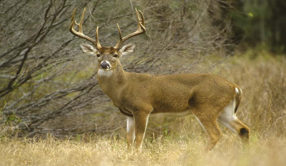 How far do mature deer roam