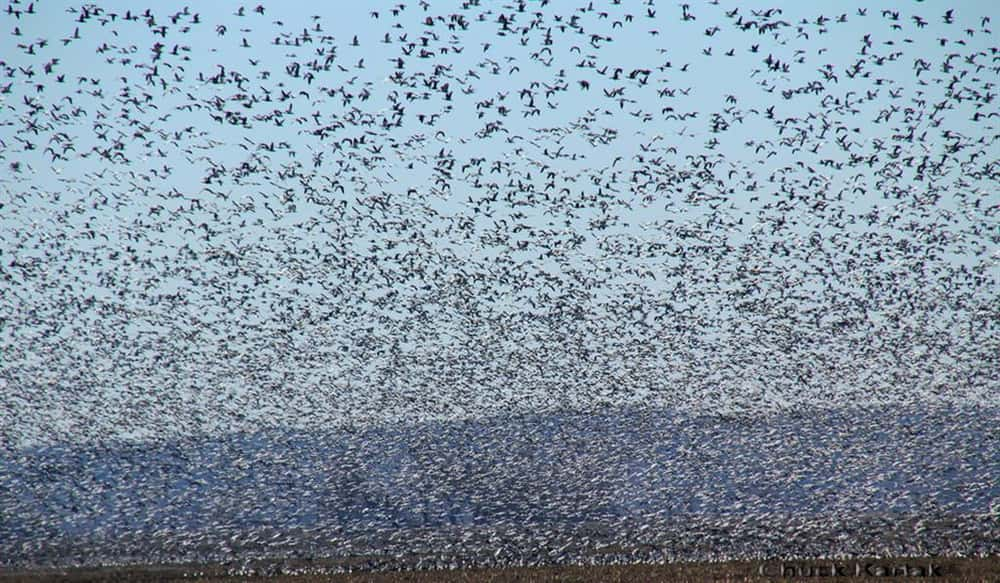 c331074c63fc4 Give Snow Goose Hunting a Shot This Spring   OutdoorHub