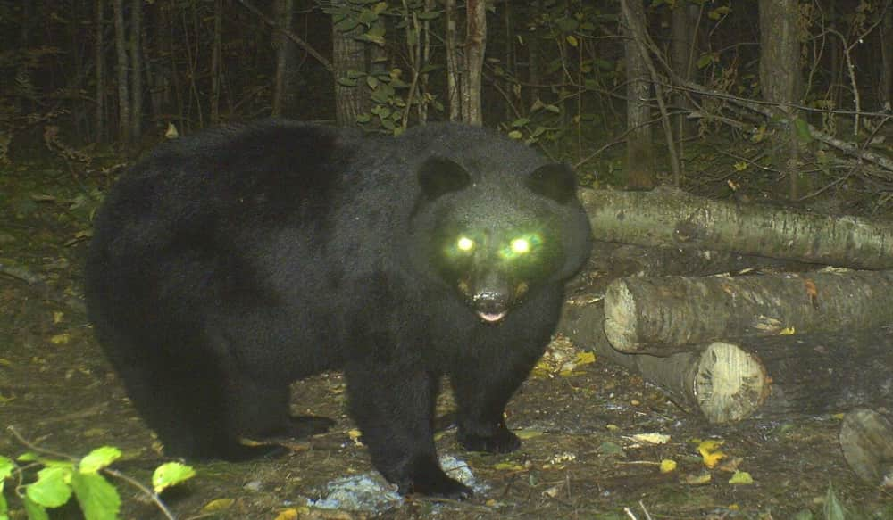 Everything You Ever Wanted To Know About Bear Eyesight Outdoorhub