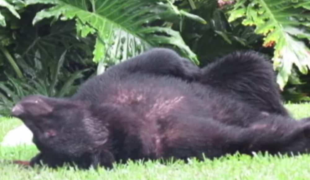Black Bear Eats Dog Food