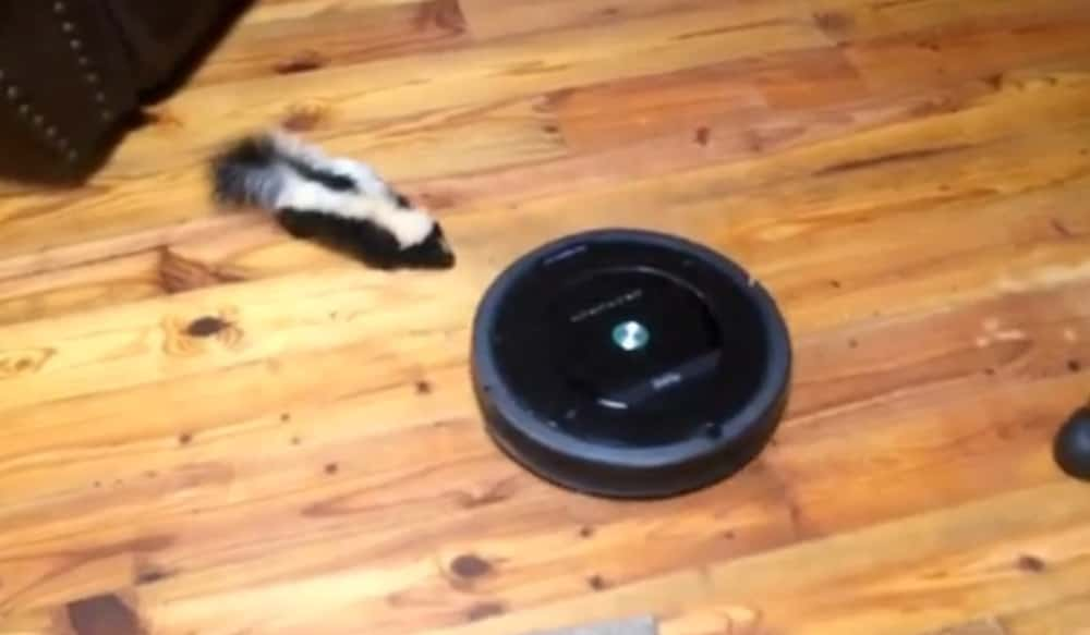 Video Baby Skunk Plays With A Roomba In Someone S Living