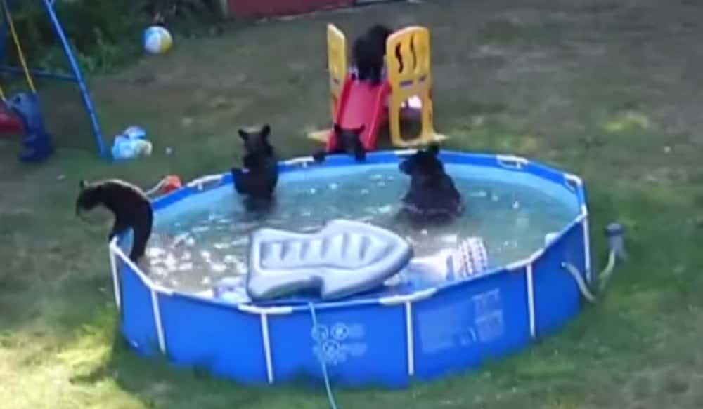 Video family of bears takes over new jersey backyard pool outdoorhub for Bears in swimming pool new jersey