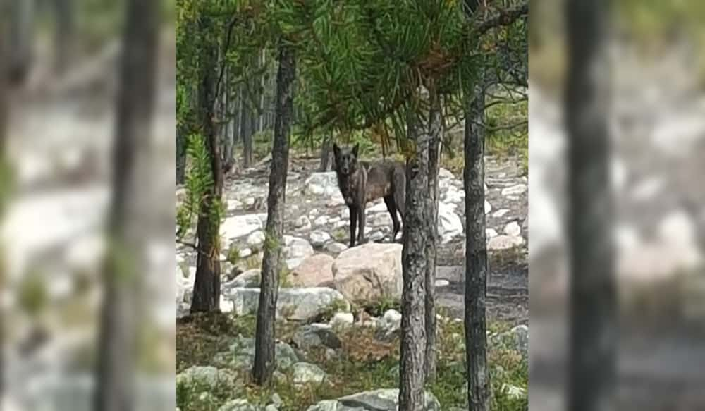 outdoorhub-video-canadian-man-captures-wolf-attacking-his-dog-on-camera-2015-09-30_16-53-27.jpg