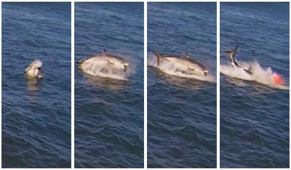 Great white shark attacks seal