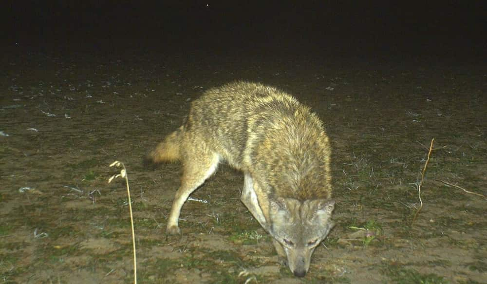Controlling Coyotes To Protect Deer Hunting Part 2 Outdoorhub