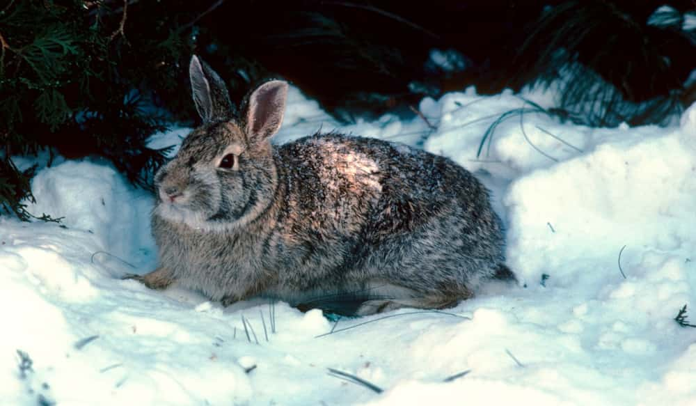 winter is rabbit hunting time in michigan outdoorhub