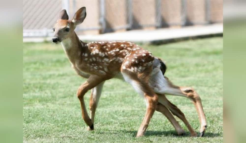 9 shocking naturally occurring wildlife deformities outdoorhub