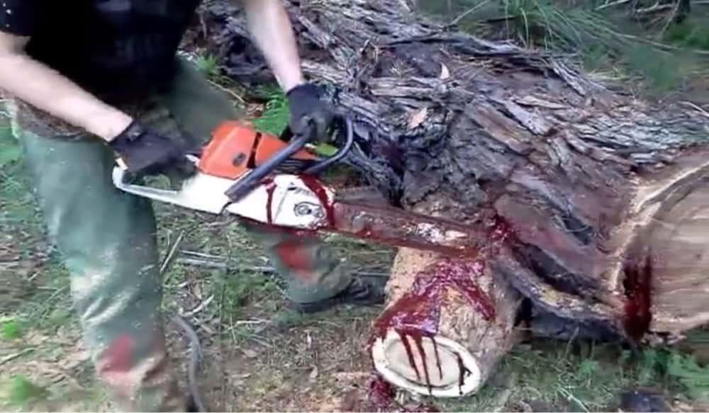 Video Cutting A Bloodwood Tree Can Be Disturbing Outdoorhub