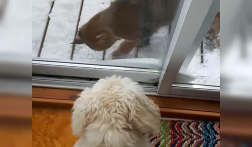 Video: Dog Encounters Perplexed Bobcat | OutdoorHub
