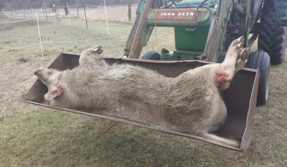 michigan deputies put down 600 pound wild pig with 6 inch tusks