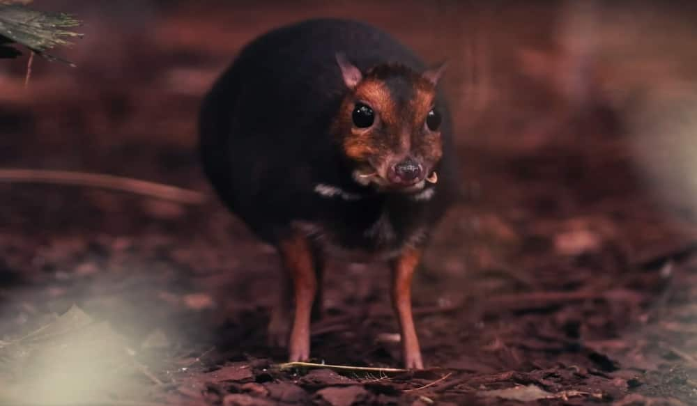 Video: For the First Time, a Philippine Mouse-Deer Born in ...