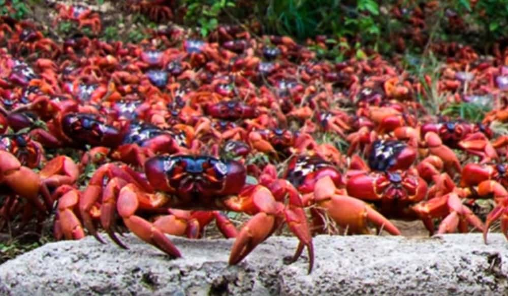 red crabs of christmas island Every year around the end of the october, the red crabs of christmas island begin their march up to 100 million individuals leave their burrows in the forest and head to the shore in a scarlet tide of legs, claws and carapaces extensive enough to.