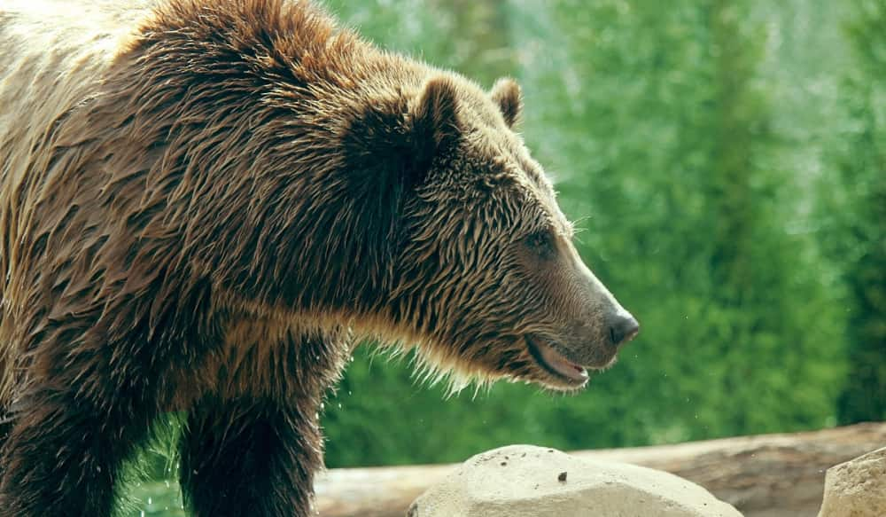 News     | ≡ British Columbia Gov. Ends Grizzly Bear Hunting News     | ≡OutdoorHub Reporters1 min ago0 Shares Share Tweet Text