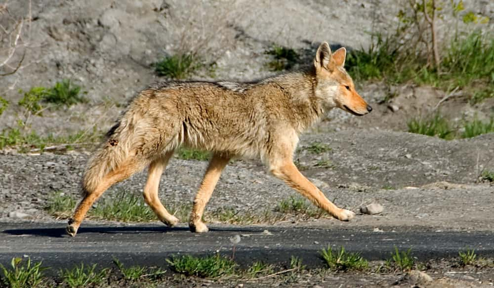 Dnr offers free lifetime hunting license for killing tagged coyotes dnr offers free lifetime hunting license for killing tagged coyotes in bounty program publicscrutiny Images