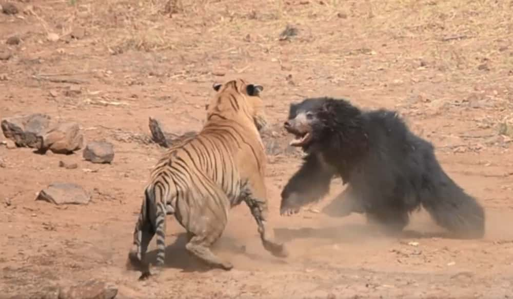 Violent brawl between bear and tiger at Indian nature park