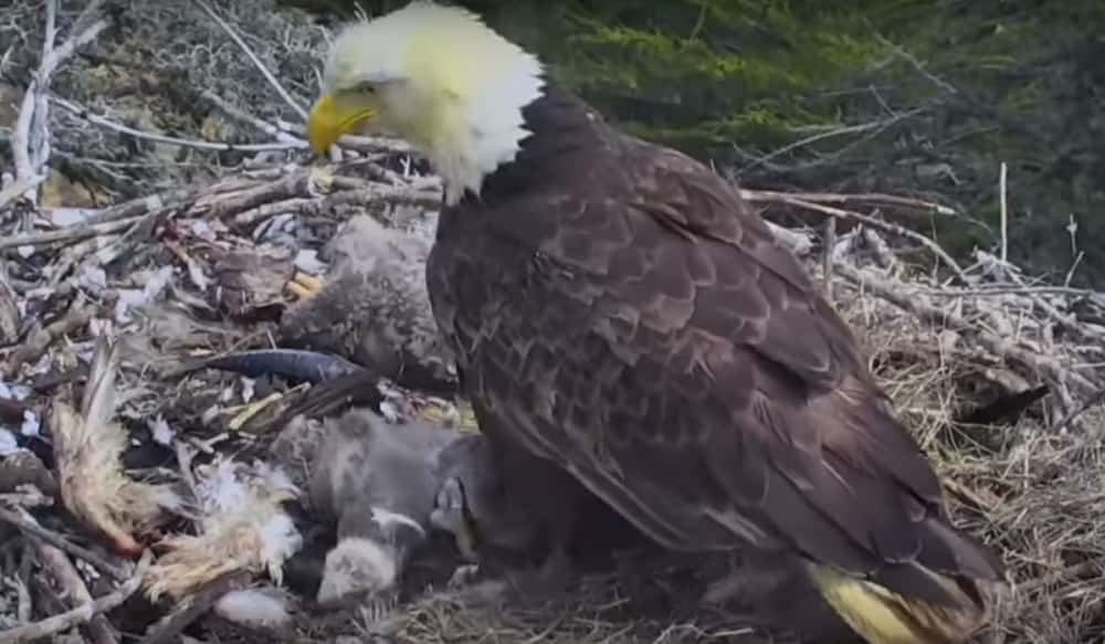 Video: Nest Cam Shows Bald Eagles React To Earthquake That