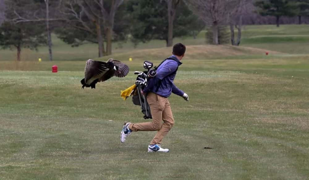 Ruffled feathers: Canada goose blindsides high school golfer