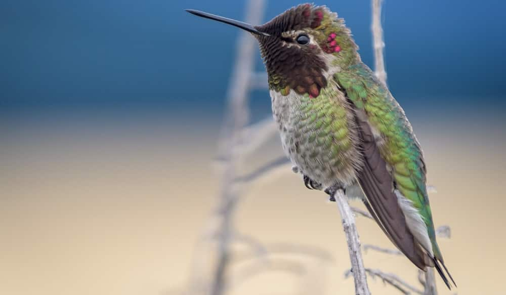 believe it or not hummingbird feathers are actually black outdoorhub