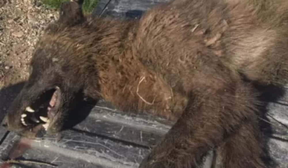 Mysterious wolf-like animal found in Montana igniting online speculation
