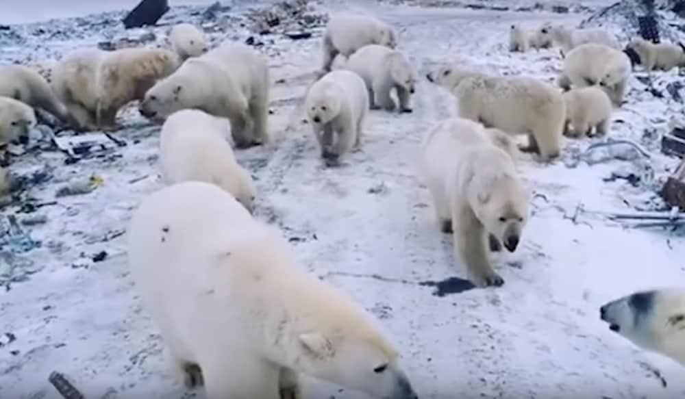 Image result for polar bear invasion