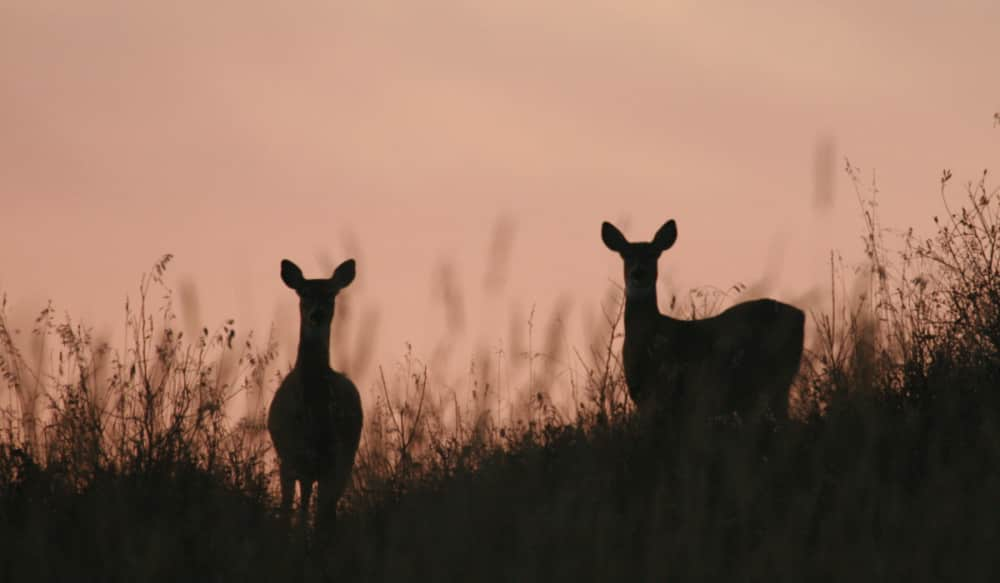 Manitoba: An Often-overlooked Destination for Whitetail Deer