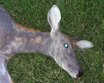 Deer Doe With Mange Image Courtesy Washington Department Of Fish And Wildlife Outdoorhub How To Recognize Common Lethal Deer Diseases Outdoorhub